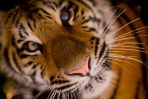 Tiger-close-up-free-license-CC0